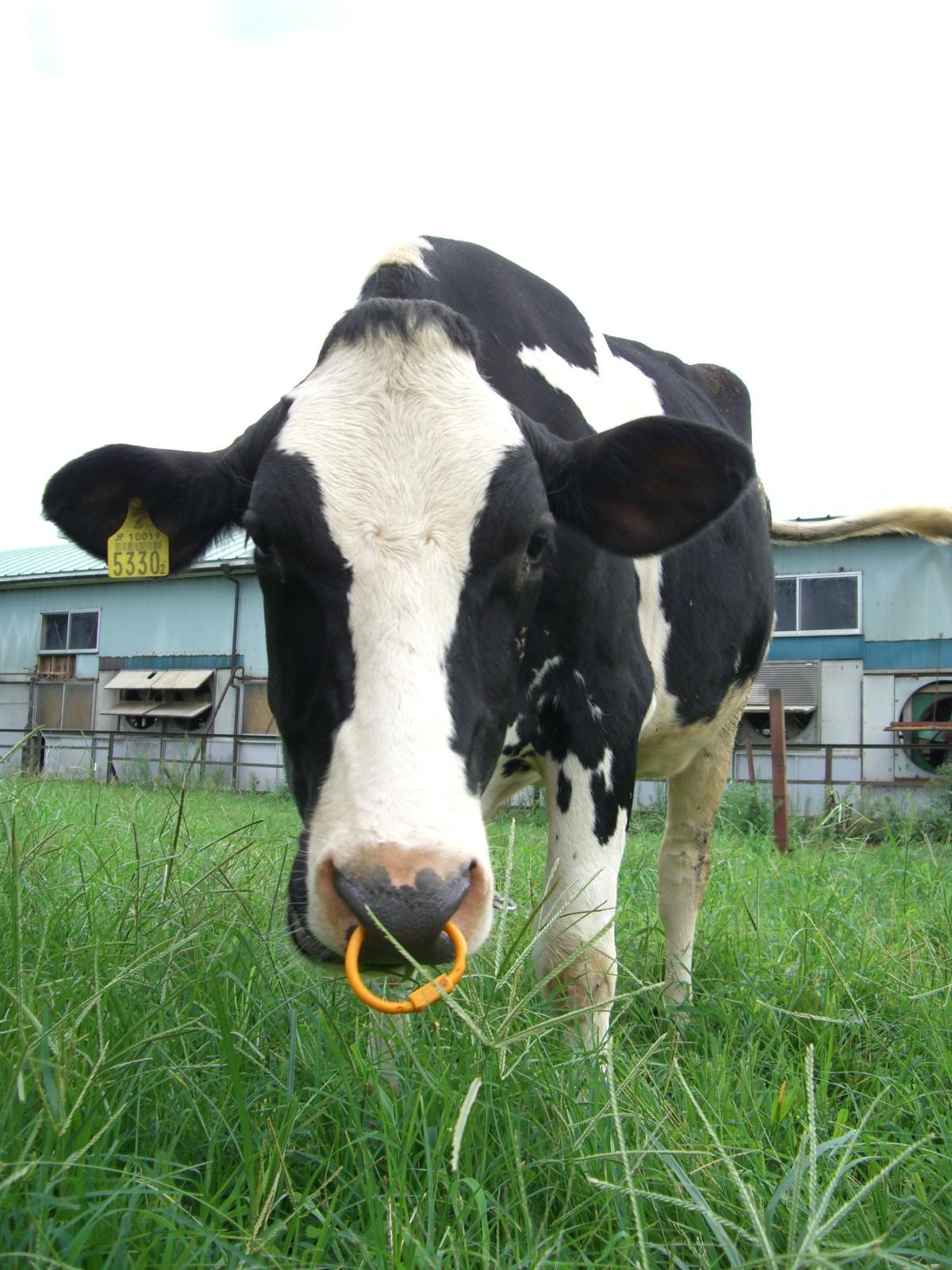 牛のえさやり体験