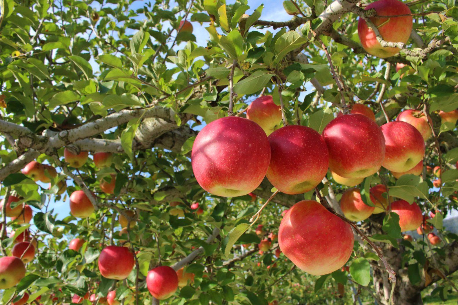 新保りんご園