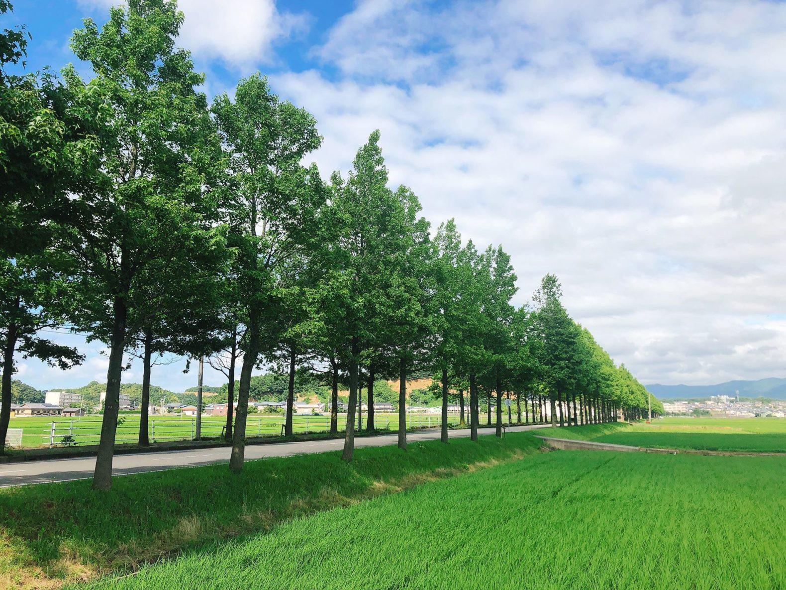 アメリカフウ並木道